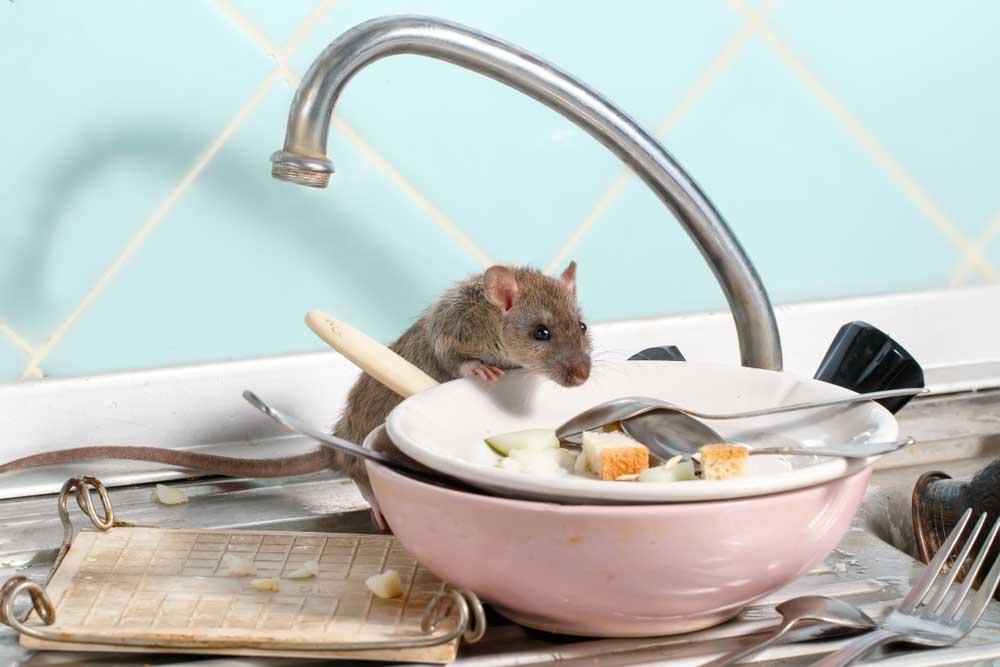 Cómo ahuyentar ratas