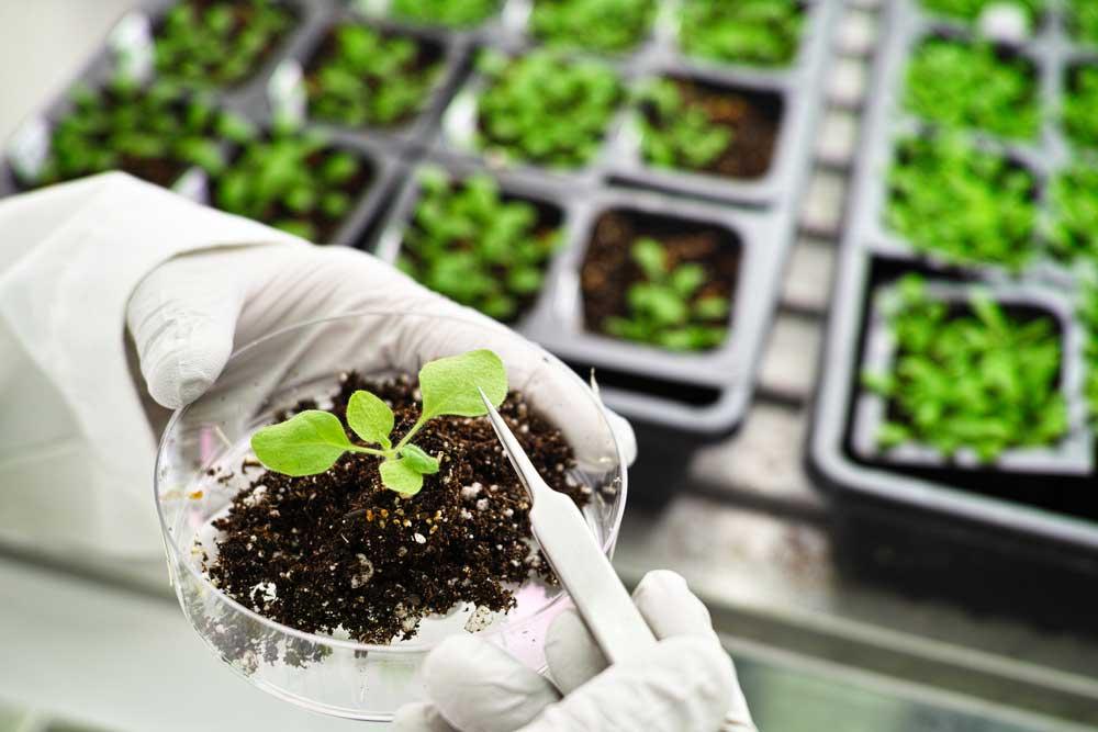 Qué son las plantas transgénicas y ejemplos